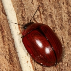 Unidentified Leaf beetle (Chrysomelidae) (TBC) at Paddys River, ACT - 12 Mar 2021 by kasiaaus