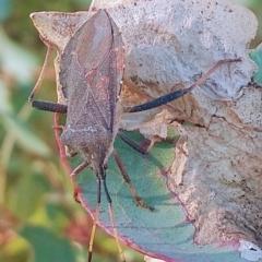 Amorbus sp. (genus) (Tip bug) at Farrer Ridge - 15 Mar 2021 by Greggy