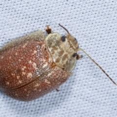 Paropsis sp. (genus) (A leaf beetle) at Tidbinbilla Nature Reserve - 12 Mar 2021 by kasiaaus