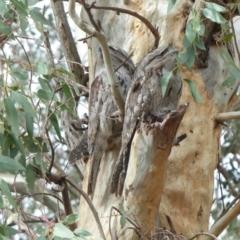 Podargus strigoides (Tawny Frogmouth) at Albury - 21 Apr 2020 by alburycityenviros