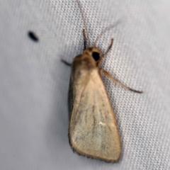 Heliocheilus moribunda (A Noctuid moth) at Tidbinbilla Nature Reserve - 12 Mar 2021 by ibaird