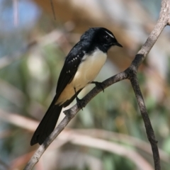Rhipidura leucophrys (Willie Wagtail) at Hovell Tree Park - 14 Mar 2021 by PaulF