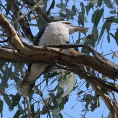 Dacelo novaeguineae (Laughing Kookaburra) at Padman/Mates Park - 14 Mar 2021 by PaulF