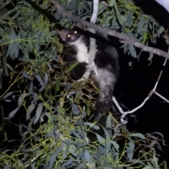 Petauroides volans (Greater Glider) at Wodonga - 14 Mar 2021 by WingsToWander