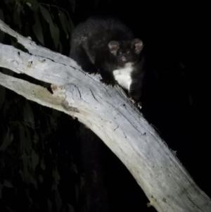 Petauroides volans at Baranduda Regional Park - 14 Mar 2021