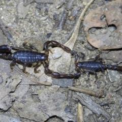 Cercophonius squama (Wood Scorpion) at - 14 Mar 2021 by WingsToWander