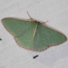 Chlorocoma undescribed species MoVsp3 at Tidbinbilla Nature Reserve - 12 Mar 2021 by ibaird