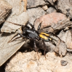 Zodariidae sp. (family) (Unidentified Ant spider or Spotted ground spider) at Black Mountain - 16 Mar 2021 by Roger