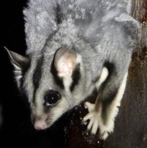 Petaurus norfolcensis at Wodonga - 15 Mar 2021