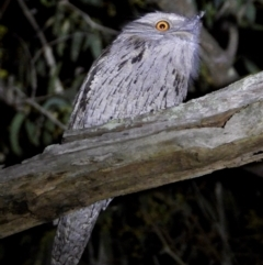 Podargus strigoides (Tawny Frogmouth) at Wodonga - 15 Mar 2021 by WingsToWander