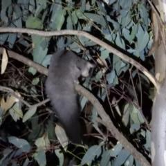 Petaurus norfolcensis (Squirrel Glider) at Wodonga - 15 Mar 2021 by WingsToWander
