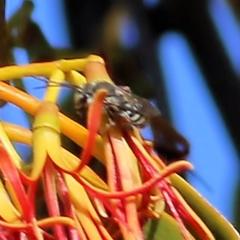Unidentified Wasp (Hymenoptera, Apocrita) (TBC) at WREN Reserves - 15 Mar 2021 by Kyliegw
