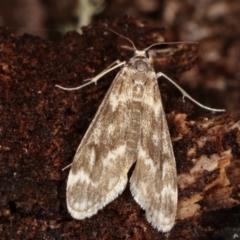 Hygraula nitens (Australian Pond Moth) at Tidbinbilla Nature Reserve - 12 Mar 2021 by kasiaaus