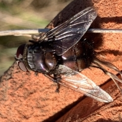 Rutilia (Rutilia) sp. (genus & subgenus) (Bristle fly) at Murrumbateman, NSW - 15 Mar 2021 by SimoneC