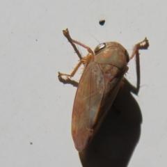 Unidentified Leafhopper & planthopper (Hemiptera, several families) (TBC) at Namadgi National Park - 15 Mar 2021 by Christine