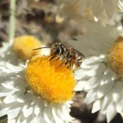 Lipotriches (Austronomia) phanerura (Halictid bee) at Hackett, ACT - 6 Mar 2021 by WalterEgo