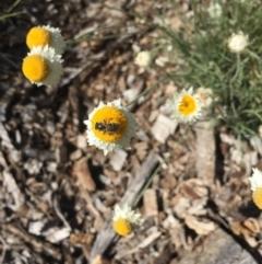 Lasioglossum (Chilalictus) sp. (genus & subgenus) (Halictid bee) at Hackett, ACT - 6 Mar 2021 by WalterEgo