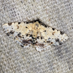 Sandava scitisignata (A noctuid moth) at O'Connor, ACT - 15 Mar 2021 by ibaird