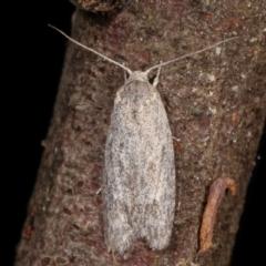 Agriophara (genus) (A concealer moth) at Paddys River, ACT - 12 Mar 2021 by kasiaaus