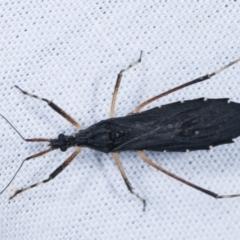 Reduviidae sp. (family) (An assassin bug) at Tidbinbilla Nature Reserve - 12 Mar 2021 by kasiaaus