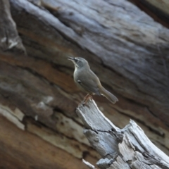 Sericornis frontalis (White-browed Scrubwren) at Wonga Wetlands - 15 Mar 2021 by WingsToWander