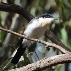 Myiagra inquieta (Restless Flycatcher) at Wonga Wetlands - 15 Mar 2021 by WingsToWander