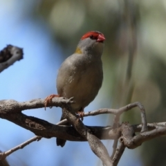 Neochmia temporalis (Red-browed Finch) at Wonga Wetlands - 16 Mar 2021 by WingsToWander