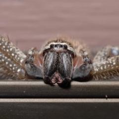 Neosparassus sp. (genus) (Unidentified Badge huntsman) at Evatt, ACT - 14 Mar 2021 by TimL
