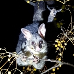 Trichosurus vulpecula (Common Brushtail Possum) at Albury - 14 Aug 2019 by BecRed