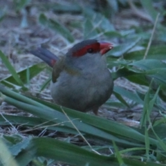 Neochmia temporalis (Red-browed Finch) at Padman/Mates Park - 14 Mar 2021 by PaulF
