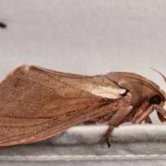 Abantiades atripalpis (Bardee, Bardy, Bardi Grub, Rain Moth or Waikerie) at Tidbinbilla Nature Reserve - 12 Mar 2021 by kasiaaus