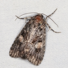 Condica aroana (A Noctuoid moth) at Tidbinbilla Nature Reserve - 12 Mar 2021 by kasiaaus