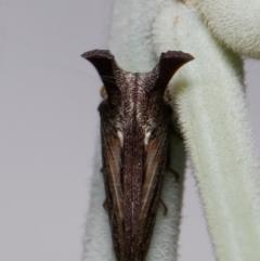 Ceraon sp. (genus) (2-horned tree hopper) at Mulligans Flat - 15 Mar 2021 by Roger