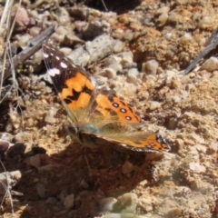 Vanessa kershawi (Australian Painted Lady) at Tidbinbilla Nature Reserve - 15 Mar 2021 by RodDeb