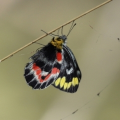 Delias harpalyce (Imperial Jezebel) at Tidbinbilla Nature Reserve - 15 Mar 2021 by RodDeb
