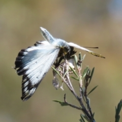 Delias harpalyce at Tidbinbilla Nature Reserve - 15 Mar 2021