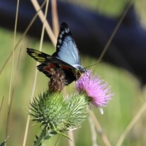 Delias harpalyce at Tidbinbilla Nature Reserve - 15 Mar 2021