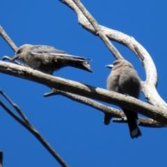 Artamus cyanopterus (Dusky Woodswallow) at Tidbinbilla Nature Reserve - 15 Mar 2021 by RodDeb