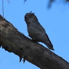 Callocephalon fimbriatum (Gang-gang Cockatoo) at Tidbinbilla Nature Reserve - 15 Mar 2021 by RodDeb