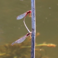 Xanthagrion erythroneurum (Red & Blue Damsel) at Tidbinbilla Nature Reserve - 15 Mar 2021 by RodDeb