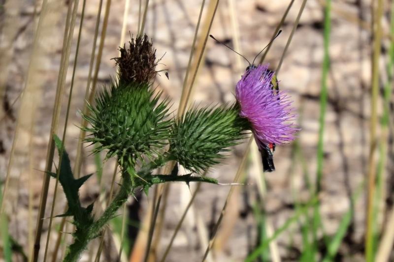 Cirsium vulgare at Tidbinbilla Nature Reserve - 15 Mar 2021