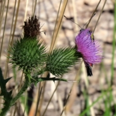 Cirsium vulgare (Spear Thistle) at Tidbinbilla Nature Reserve - 15 Mar 2021 by RodDeb