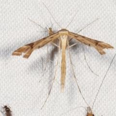 Sinpunctiptilia emissalis (A plume moth) at Tidbinbilla Nature Reserve - 12 Mar 2021 by kasiaaus