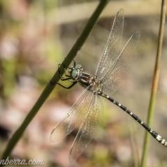Eusynthemis virgula (Golden Tigertail) at Brindabella, NSW - 6 Mar 2021 by BIrdsinCanberra