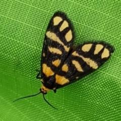 Asura lydia (Lydia Lichen Moth) at Majura, ACT - 17 Mar 2021 by sbittinger