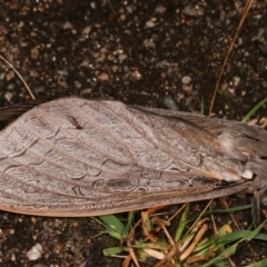 Abantiades (genus) (A Swift or Ghost moth) at Tidbinbilla Nature Reserve - 12 Mar 2021 by kasiaaus