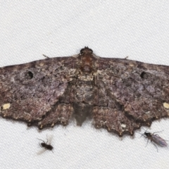 Eccymatoge fulvida (A geometer moth) at Tidbinbilla Nature Reserve - 12 Mar 2021 by kasiaaus