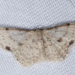 Idaea halmaea (Two-spotted Wave) at Tidbinbilla Nature Reserve - 12 Mar 2021 by kasiaaus