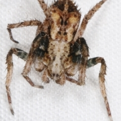 Stephanopis sp. (genus) at Tidbinbilla Nature Reserve - 12 Mar 2021