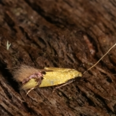 Opogona stereodyta (A Clothes moth (Tineidae)) at Tidbinbilla Nature Reserve - 12 Mar 2021 by kasiaaus